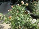 RR Roses