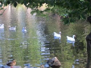 Mill Ducks 01