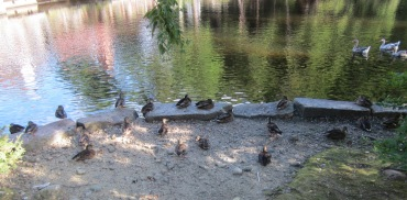Mill Ducks 02