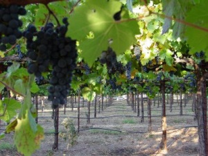 Vellum Grapes 01