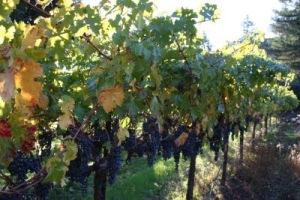 Vellum Linstad Harvest '09